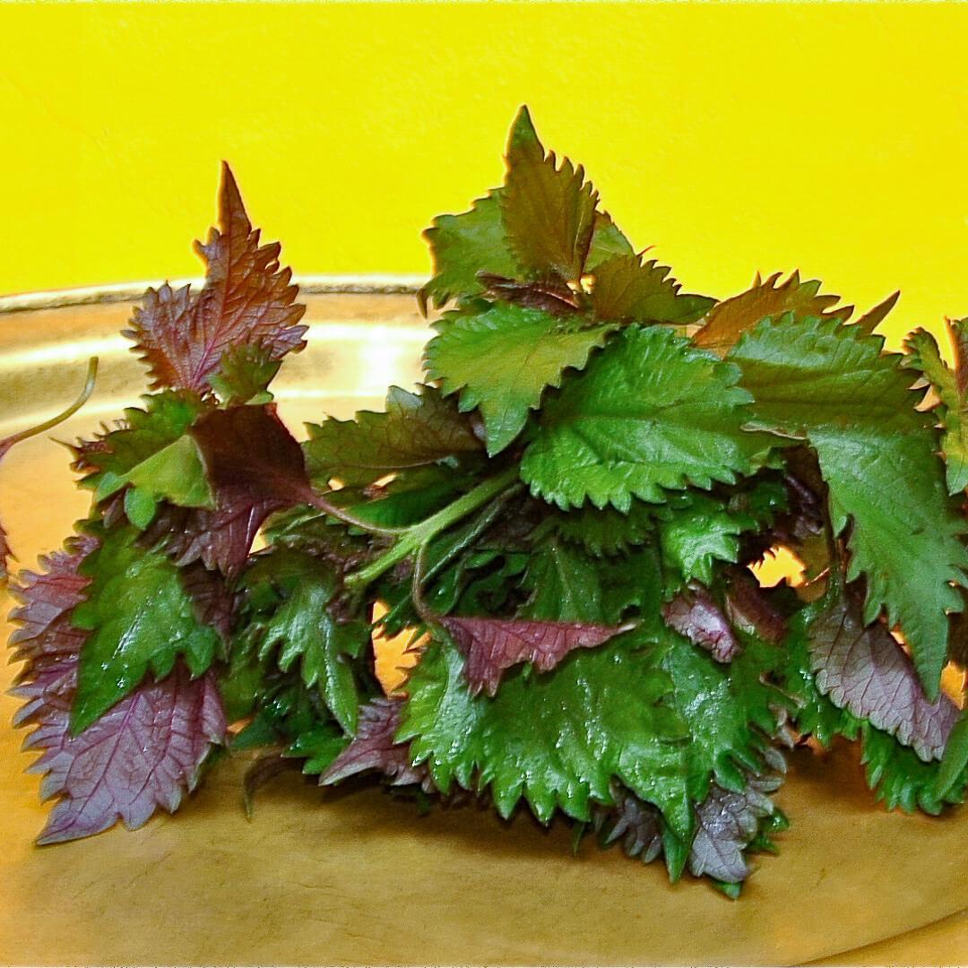 Rote Perilla (Perilla frutescens)